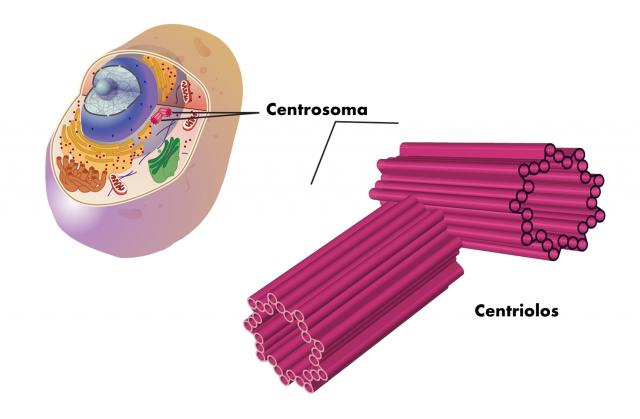 Funciones de los Centriolos