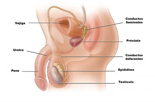 Funciones del aparato reproductor masculino